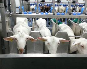 Sali de muls oi si capre